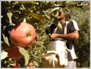 cuando-visitar-madeira-festival-de-la-manzana